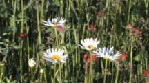 Daisies And Orange Hawkweed, Zoom In To Four Daisies