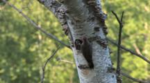 Northern Flicker Feeding Chick In Birch Tree, Parent Leaves