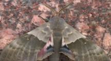 Hog Sphinx Moth, Flutters Wings, Turns, Exits