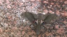 Hog Sphinx Moth, Fluttering Wings On Rock