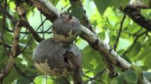 House Wren Looks In Birdhouse Gourd Nest, Exits