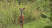 White-tailed Deer, Doe, Startled, Runs, Jumps