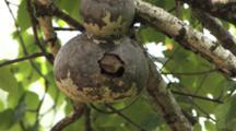 House Wren Pair Interacting, Flying, Feeding Chicks In Birdhouse Gourd Nest