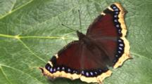 Mourning Cloak Butterfly, Curling Proboscis, Moving Head, Legs