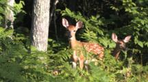 White-tailed Deer Twin Fawns