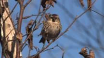 Common Redpoll On Branch Watching Other Birds