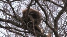 Porcupine Sleeping In Tree