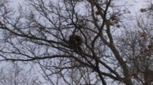 Zoom To Porcupine Sleeping In Tree