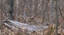 Ruffed Grouse Enters, Walks Down Drumming Log, Prepares To Drum