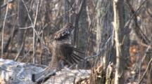 Ruffed Grouse Drumming On Log