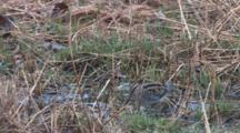 Wilson's Snipe Standing In Water, Probing Ground, Bobbing Body
