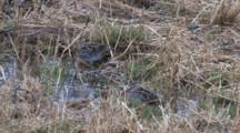 Wilson's Snipe Pair Standing In Rain, One Resting, One Probing Ground
