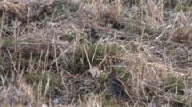 Wilson's Snipe Pair Feeding, One Sneaks Off Screen