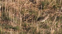 Wilson's Snipe Pair On Ground, One Resting, One Finds, Eats Worm