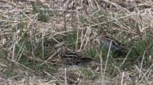 Wilson's Snipe Pair, One Shows Tail Colors To Other