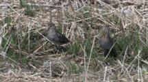 Wilson's Snipe Pair On Ground, One Turns To Back, Hides