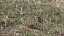 Wilson's Snipe Resting On Ground, Chirping