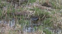 Wilson's Snipe Probing Ground For Worms, Turns In Circle