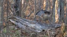 Ruffed Grouse Enters, Walks Down Log, Pumping Fanned Out Tail