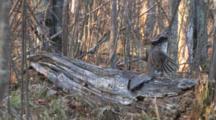 Ruffed Grouse On Log, Bobs Head, Drums
