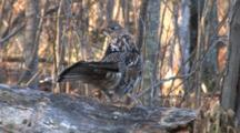 Ruffed Grouse On Log Turns In Circle, Pumps Tail, Drums