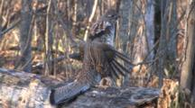 Ruffed Grouse Turns, Readies, Drums
