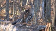 Ruffed Grouse Standing On Drumming Log, Looks Toward Camera, Behind