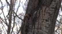 Exhausted Male Northern Flicker Throws Wood Chips From Nest Hole