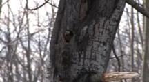 Male Northern Flicker, Throwing Sawdust, Bores Nest Hole In Popple Tree