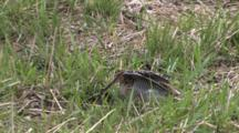 Wilson's Snipe Stretches Wings, Searches For Worms