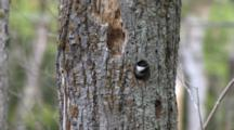Black Capped Chickadees Entering, Exiting, Cleaning Out Nest