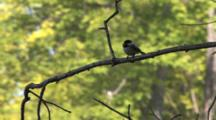 Black Capped Chickadee With Worm, Flutters Wings, Exits