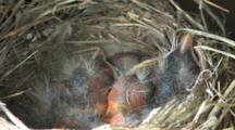 Robin Chicks In Nest, Few Days Old