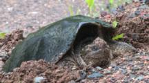 Front View, Snapping Turtle In Nest Hole, Zoom