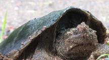 Snapping Turtle Resting In Nest Hole, Zoom In