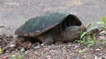 Snapping Turtle Reaching For Gravel With Hind Foot, Covering Eggs