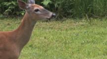 White-tailed Deer, Doe, Turns Runs Off Into Brush