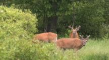Three White-tailed Deer, Bucks In Velvet, One Walks Through
