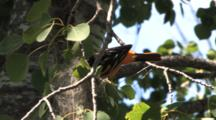 Baltimore Oriole Brings Worm, Juggles, Feeds Chicks In Nest