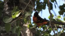 Baltimore Oriole Feeding Worm To Chicks In Nest