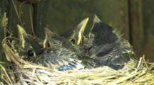 Robin Chicks In Nest, Older, Almost Fledglings