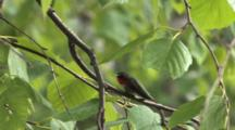 Ruby Throated Hummingbird On Branch, Glaring At Rival Off-Screen