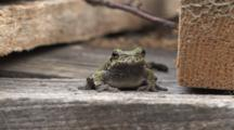 Grey Tree Frog, Frontal View