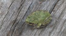 Grey Tree Frog,  View From Top