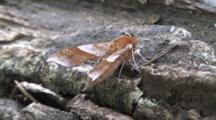 Walnut Sphinx Moth, Side View