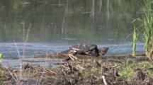 Snapping Turtle Resting On Riverbank