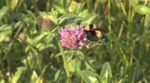 Bumblebee On Clover