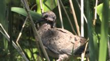 Mourning Dove, Fledgling Chick, Hiding In Tall Grass