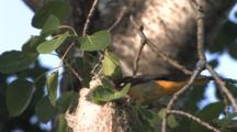 Female Baltimore Oriole Brings Worm To Nest And Chicks
