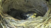 Single Robin Chick In Nest, Hates To Leave